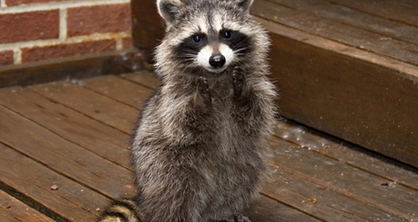 Raccoons Control and Removal In London