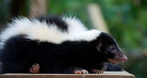 Skunk Control And Removal In Ontario