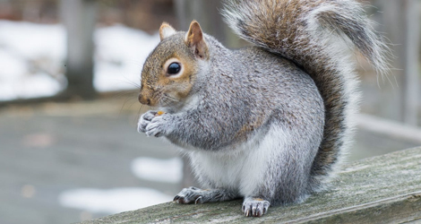 Squirrel Control and Elimination in London
